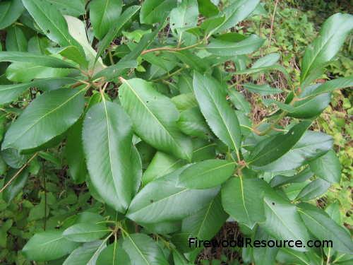 Madrone Foliage