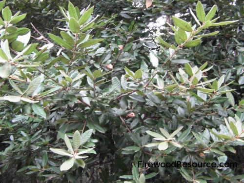 Tanoak Foliage