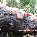 Big Douglas Fir Log